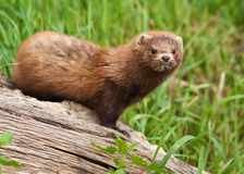American mink Royalty Free Stock Image