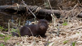 American Mink against water Royalty Free Stock Image