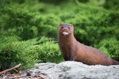 American Mink a Colonel Samuel Smith Park, Toronto. An American Mink along the waterfront at Colonel Samuel Smith Park, Toronto Royalty Free Stock Images