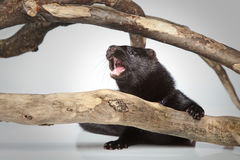 American mink crawls on branches Royalty Free Stock Image