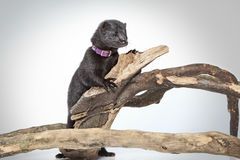 American mink crawls on branches Stock Images