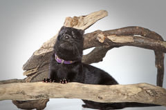 American mink crawls on branches Stock Photography