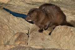 American Mink. Hanging out among the rocks enjoying the setting sun. Colonel Samuel Smith Park, Toronto, Ontario, Canada Stock Image