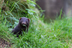 American Mink Royalty Free Stock Images