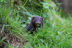 American Mink Royalty Free Stock Photography