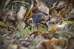 The American mink hid in autumn foliage. Stock Photo
