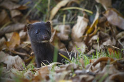 The American mink hid in autumn foliage. royalty free stock image