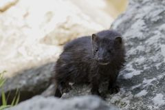 American mink lives in forested areas that are near rivers, streams, lakes, ponds and marshes. royalty free stock photo