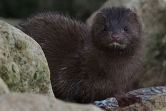 American Mink Stock Images