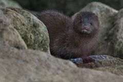American Mink Stock Photos