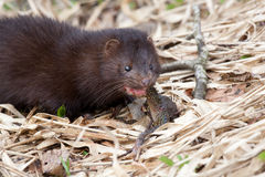 American Mink (Mustela vision) eating frog Royalty Free Stock Photography