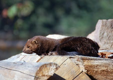 American Mink (Mustela vison). Picture of an American Mink (Mustela vison) on a pile of wood Royalty Free Stock Photography