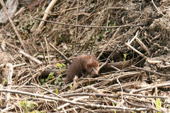American Mink Mustela vison eating freshly caught food in the undergrove Stock Photos