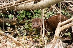 American Mink Mustela vison eating freshly caught food in the undergrove stock photos