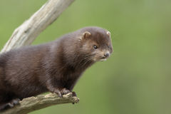 American mink, Mustela vison Stock Photography