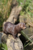 American mink, Mustela vison Royalty Free Stock Images