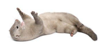 American Mink, Neovison Vison, 3 months old Royalty Free Stock Images
