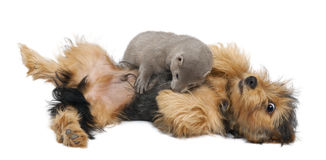 American Mink, Neovison Vison, 3 months old,. And a Yorkshire dog in front of white background Royalty Free Stock Photography