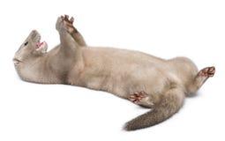 American Mink, Neovison Vison, 3 months old Stock Photos