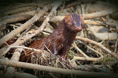 American Mink (Neovison vison) Royalty Free Stock Photo