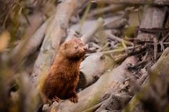 American Mink sitting on a beaver dam royalty free stock image