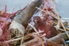 American Mink sitting on branches beside a lake royalty free stock photo