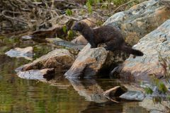 American Mink Stock Image