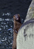 American mink standing by a wooden bridge Stock Images