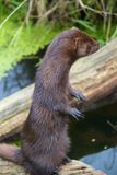 American Mink Stood Up Stock Photography