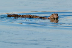 American Mink. Swimming in open water.Colonel Samuel Smith Park, Toronto, Ontario, Canada Stock Photography