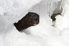 American mink which looks out from an ice Royalty Free Stock Images