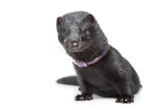 American mink on white background Stock Photos