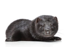 American mink on white background Stock Image