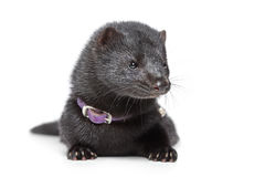 American mink on white background Stock Photography