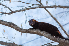 American minks on a tree in branches Stock Images