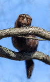 American minks on a tree in branches Royalty Free Stock Images