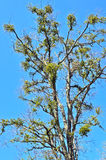American Mistletoe (Phoradendron flavesens) Infested Tree. American Mistletoe is an evergreen, perennial, dichotomous, parasitic flowering plant that is Stock Image