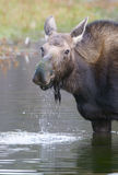 American Moose Stock Images