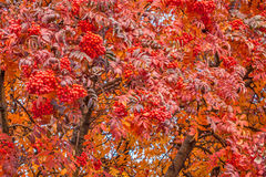 American Mountain Ash in Autumn Royalty Free Stock Images