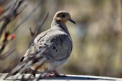 American mourning dove - zenaida macroura - or rain dove. Standing in garden Stock Photos