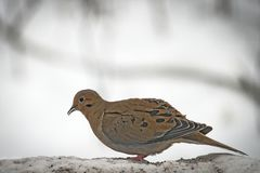American mourning doves zenaida macroura or rain dove. Standing facing left Stock Photos
