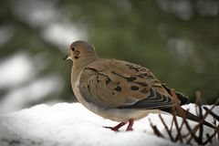 American mourning doves zenaida macroura or rain dove. Walking on snow away from camera Royalty Free Stock Photos