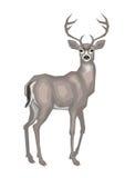 American  mule deer. Vector image of the American mule deer.  on a white background Stock Photos