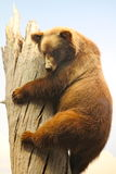 American Museum of Natural History: Grizzly bear Stock Photos