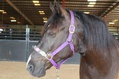 American Mustang Royalty Free Stock Photos