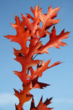 American oak leaf Stock Photo