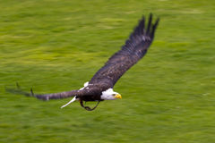 American Osprey in flight. An american osprey takes flight across a green grass field. These creatures can take on amazing speeds in the air Stock Photo