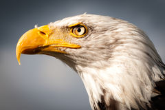 American osprey. Staring proudly in the distance Royalty Free Stock Photos