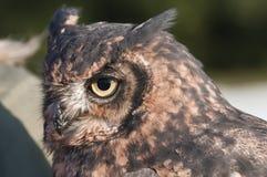 American owl, Bubo virginianus Stock Image