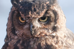 American owl, Bubo virginianus Royalty Free Stock Photo